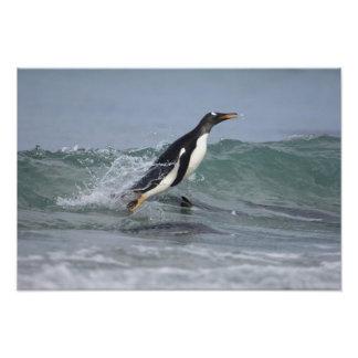Gentoo Penguin Pygoscelis papua) coming in on Art Photo