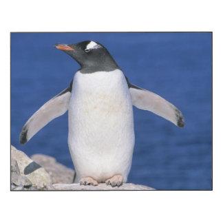 Gentoo Penguin Pygoscelis papua) Port