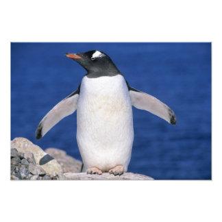 Gentoo Penguin Pygoscelis papua) Port Photographic Print