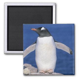 Gentoo Penguin Pygoscelis papua) Port Square Magnet