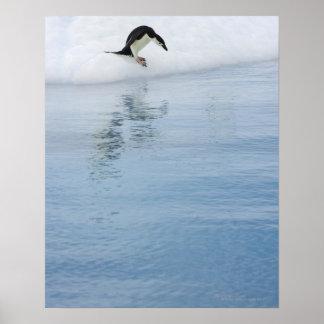 Gentoo penguin (Pygoscelis papua) Poster