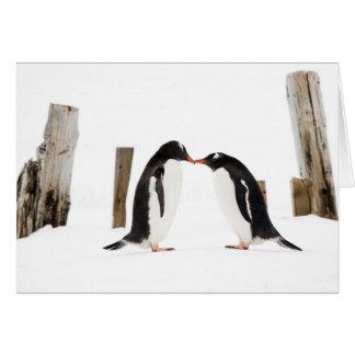 Gentoo Penguins Kissing Card