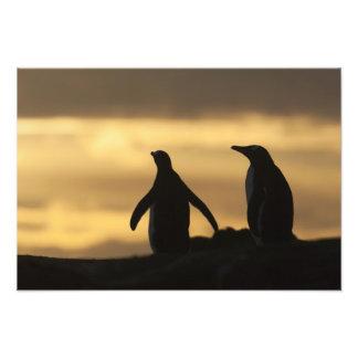 Gentoo Penguins Pygoscelis papua) at sunset Art Photo