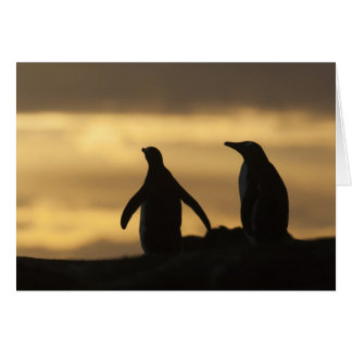 Gentoo Penguins Pygoscelis papua) at sunset Card
