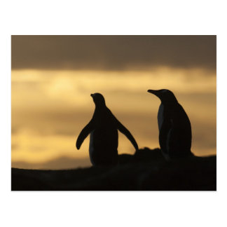 Gentoo Penguins Pygoscelis papua) at sunset Postcard