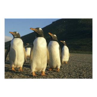 Gentoo Penguins, Pygoscelis papua), sunset, Art Photo
