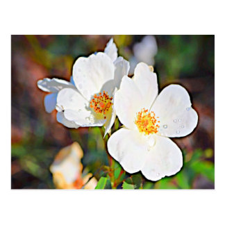 Georgia Cherokee Rose Postcard