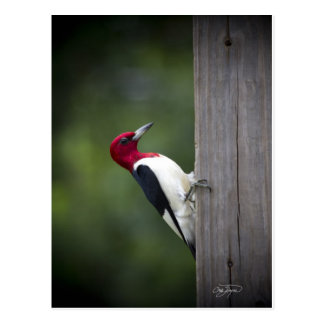 Georgia Woodpecker Postcard