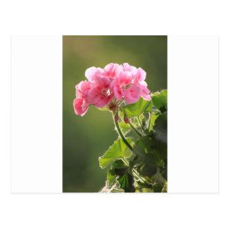 geranium postcard