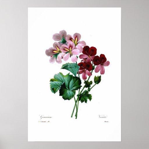 Geranium varieties poster