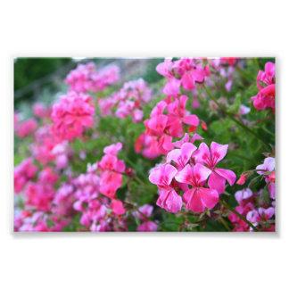 Geraniums Photo Print