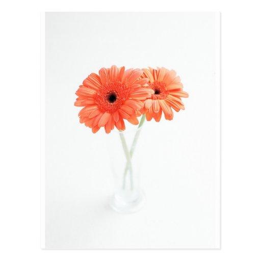 Gerbera Daisies, Orange Post Card