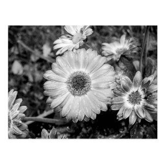 Gerbera Daisy Black & White Photograph Postcard