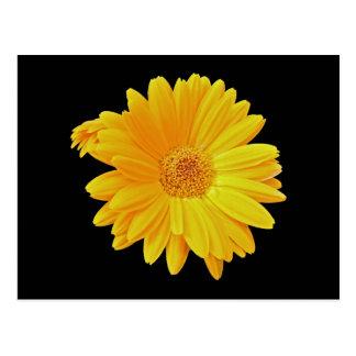 Gerbera Daisy (Gerbera hybrida) - Yellow Postcard