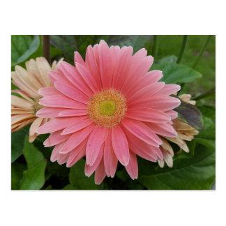 Gerbera Daisy Pink Postcard