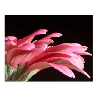gerbera daisy postcards