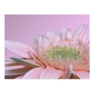 Gerbera Daisy Post Cards