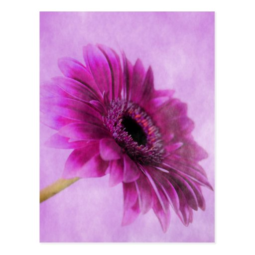 Gerbera pink photographed by Tutti Post Cards