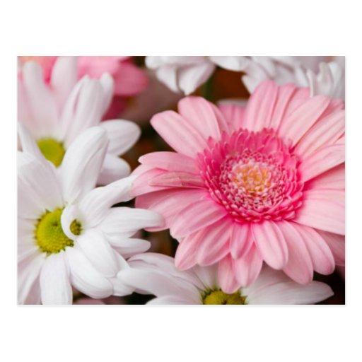 Gerberas And Chrysanthemums Postcards