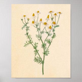 German Chamomile Vintage Botanical Print