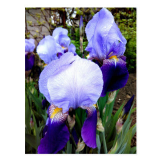 German Iris And Some Raindrops Postcard