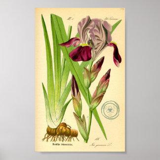 German Iris (Iris germanica) Poster