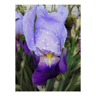 German Iris With Some Raindrops Poster