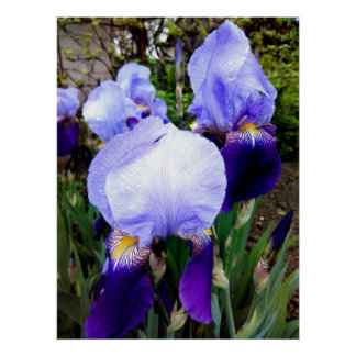 German Irises And Some Raindrops Poster