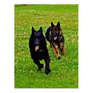 German shepher run together to goal success postcard
