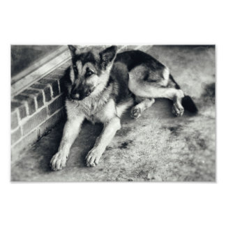German Shepherd Breed Working Dog Retro Photo Print