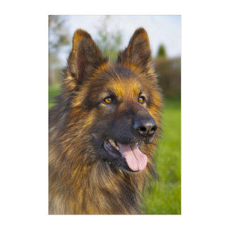 German shepherd dog acrylic print
