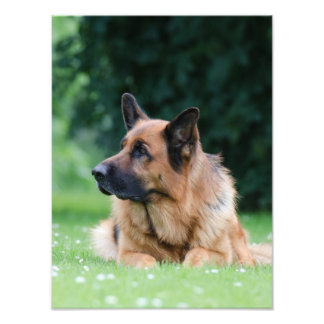 German shepherd dog photo print