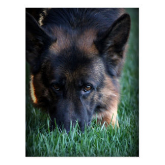 German Shepherd Randy vom Leithawald Postcard