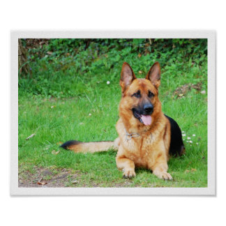 German Shepherd Resting in Grass Poster