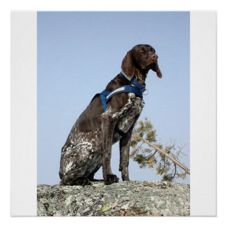 german shorthair pointer sitting poster