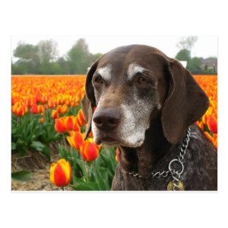 german shorthaired pointer flower field postcard