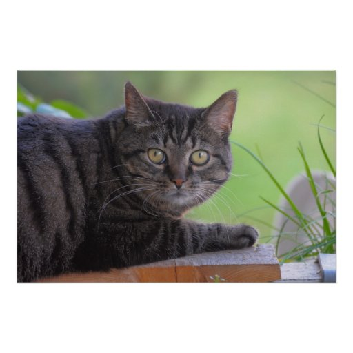 getigerte domestic cat, portrait, for close-up, be posters