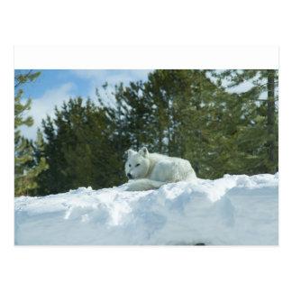 Ghost Wolf Postcard