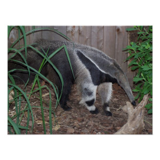 Giant Anteater Photo Poster