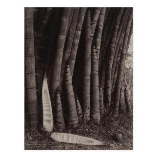 Giant Bamboos in the Peradeniya Gardens, Sri Lanka Postcard