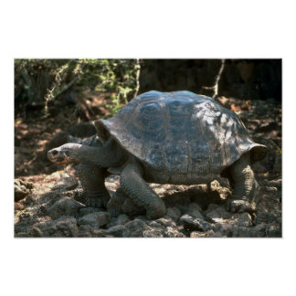 Giant Dome-Shaped Tortoise Walking Poster