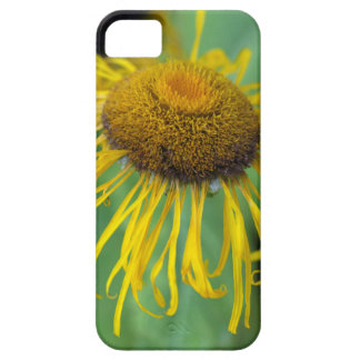 Giant Fleabane  (Inula magnifica) iPhone 5 Cover