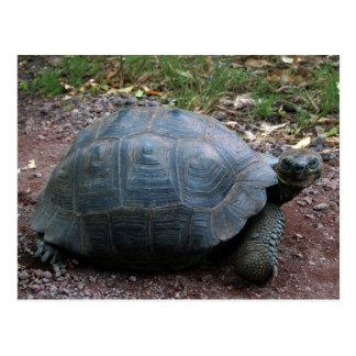 Giant Galapagos Tortoise Postcard