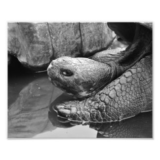 Giant Galapagos turtle close up in black and white Photo Print