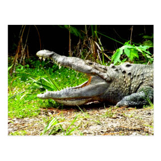 Giant gator with his mouth open postcard