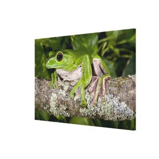 Giant Gliding Frog, Polypedates dennysi ssp, Canvas Print