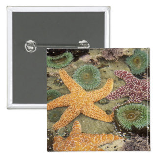 Giant green anemones and ochre sea stars 2 inch square button