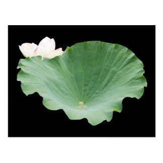 Giant Lotus Leaf with Bloom Postcard