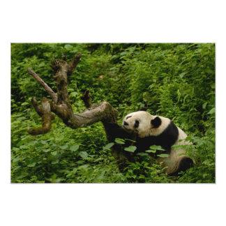 Giant panda Ailuropoda melanoleuca) Family: 2 Photo Art