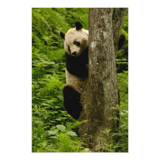 Giant panda Ailuropoda melanoleuca) Family: 4 Photo Art